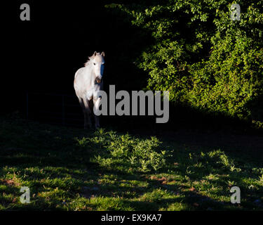 White horse in evening light, standing in deep shadow. - Stock Image
