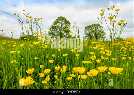 A buttercup meadow in June. - Stock Image