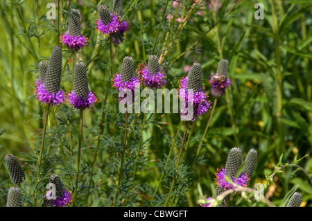 Purple Prairie Clower (Dalea purpurea), flowering plant. - Stock Image