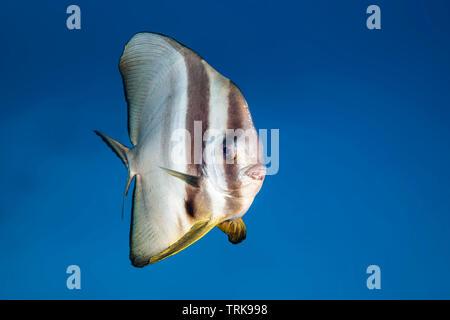 Longfin Batfish, Platax teira, Lissenung, New Ireland, Papua New Guinea - Stock Image