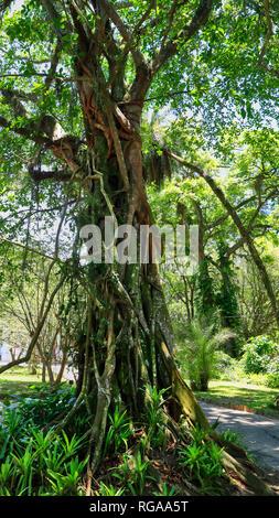 Beautiful tree in the Botanical garden of Rio de Janeiro.  Brazil - Stock Image