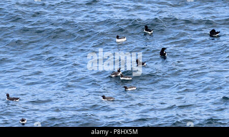 Guillemots (Uria aalge) and razorbills (Alca torda) in the sea below their nests on ledges on the basalt sea cliffs at Carrick-a-Rede. Carrick-a-Rede, - Stock Image