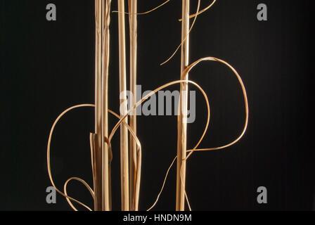 Dried Pampas grass stems - Stock Image