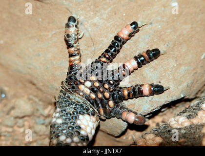 Front claw of a Gila Monster (Heloderma suspectum), a venomous lizard native to the southwestern USA and Northern - Stock Image