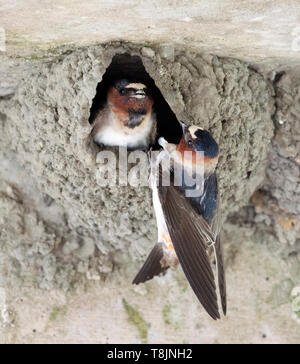 American Cliff Swallows at Nest - Stock Image