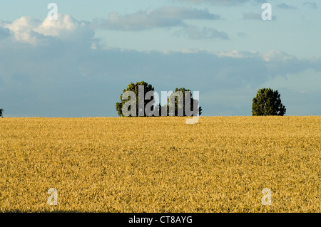 golden corn in field in Oxfordshire. Blue sky with clouds. - Stock Image