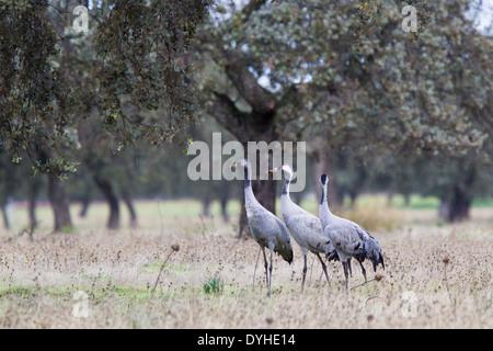 Common Crane, Eurasian Crane, Grus grus, Kranich, Extremadura, Spain, family with chick standing in dehesa with oak trees - Stock Image