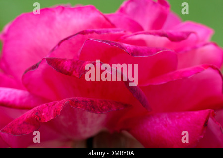 close up of rose petals red bright flower - Stock Image