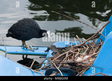 Eurasian coot, (Fulica atra), also known as the Common Coot or Coot,stands beside nest built on boat, Regents Park, London, United Kingdom - Stock Image