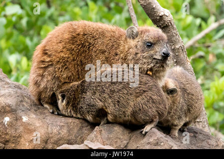 Rock Hyrax (Procavia capensis) mother feeding babies - Stock Image