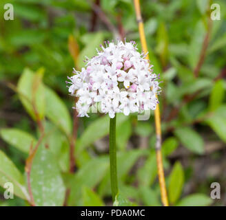Closeup of Capitate Valarian flower cluster from the tundra in Nome, Alaska - Stock Image