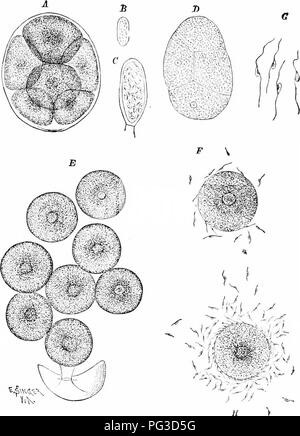 . Plant studies; an elementary botany. Botany. Fig. 3:31. Sexual reproduction of Fhci/s, showing the eight eggs isix in eight) dis- charged fi-oin tlic oogonium and eurronnded by a membrane (A), eggs liberated from the membrane (E i, antheridinm containing sperms ( 6'). the discharged lat- erally biciliate sperms i (;), and eggs surrounded by swarming sperms (F, H).— After Singer.. Please note that these images are extracted from scanned page images that may have been digitally enhanced for readability - coloration and appearance of these illustrations may not perfectly resemble the original w - Stock Image