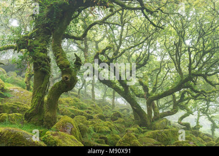 Twisted, moss covered stunted oak trees in Wistman's Wood SSSI, Dartmoor National Park, Devon, England. Summer (July) 2017. - Stock Image