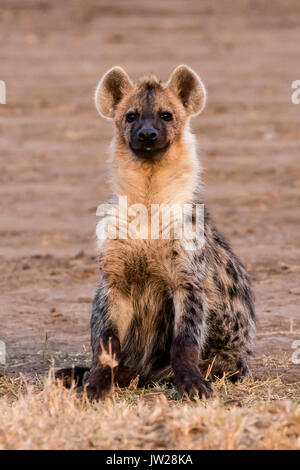 Spotted Hyena (Crocuta crocuta) sitting under the golden light of sunrise, like a cute doggie - Stock Image