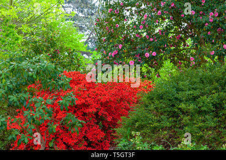 A Lady Longman Rhododendron in full bloom - Stock Image