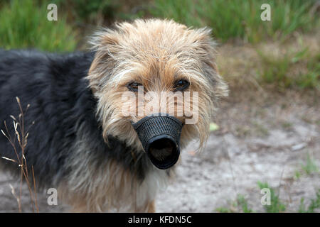 terrier dog in muzzle - Stock Image