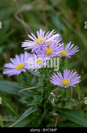 Michaelmas Daisies, Aster novi-belgii, Asteraceae. - Stock Image