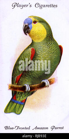 Blue-Fronted Amazon Parrot. - Stock Image