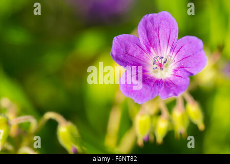 Closeup of single purple flower in meadow - Stock Image