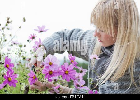 Mid adult woman cutting organic flowers in garden - Stock Image