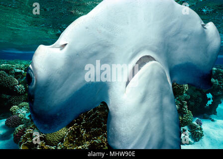 Head and mouth of Juvenile Scalloped Hammerhead Shark (Sphyrna Lewini), Kane'ohe Bay, Hawaii - Pacific Ocean.   This image has been digitally altered  - Stock Image