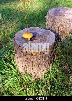 Big yellow mushroom growing on wooden stump - Stock Image