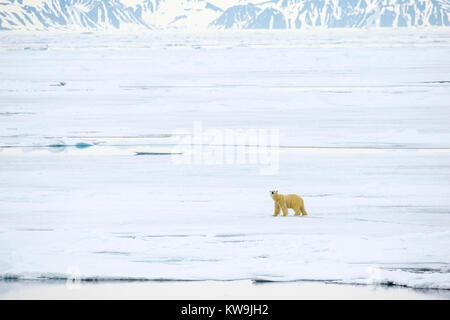 Polar Bear on Pack Ice - Stock Image