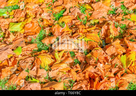 Autumn concept, lawn filled with falling leaves in Green Park of London - Stock Image