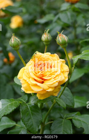 Rosa English Garden 'Ausbuff' flower. - Stock Image