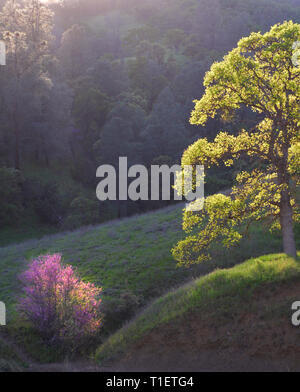 Woodland with oak trees and red bud. Bear Valley. California - Stock Image