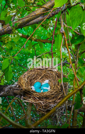 American Robin (Turdus migratorius) with blue eggs in Spring Snow flowering Crabapple tree. White petals fell into the nest. Castle Rock Colorado US. - Stock Image