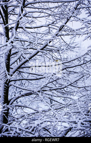 Snowy branch trees - Stock Image