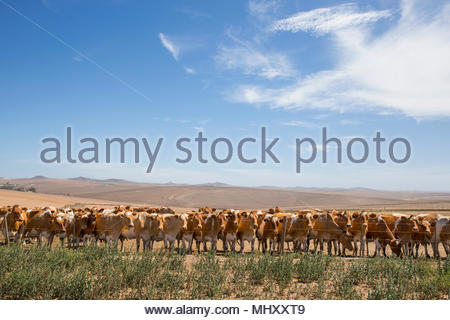 Herd Of Cattle In Farm Field In Swellendam Area Of Western Cape In South Africa - Stock Image