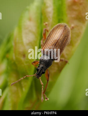 Brown Leaf Weevil (Phyllobius oblongus) crawling down plant leaf. Tipperary, Ireland - Stock Image