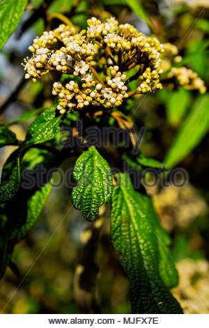 Viburnum rhytidophyllum, an evergreen shrub commonly called leatherleaf virbunum, in evening light just before blossoms open. - Stock Image