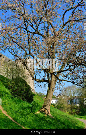 Ash tree (Fraxinus excelsior) which has died from ash dieback fungal (Hymenoscyphus fraxineus) infection - Stock Image