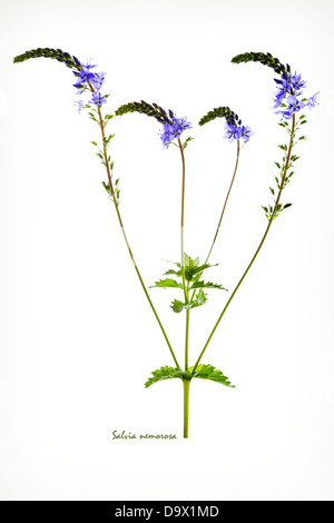 Woodland sage, Balkan clary (Salvia nemerosa) flowers buds, fruits and leaves back-lit on the white background June - Stock Image