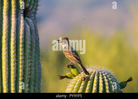 A Brown-crested Flycatcher (Myiarchus tyrannulus) perches before bringing an insect to its nest in a Saguaro  (Carnegiea gigantea). (Arizona) - Stock Image