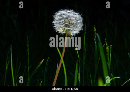 A very detailed close up of a white circular dandelion seed head, also know as a dandelion clock surrounded by fifteen long individual blades of green - Stock Image