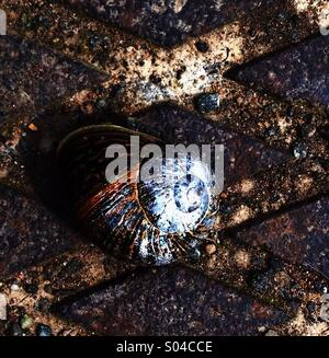 Snail on Drain Cover - Stock Image