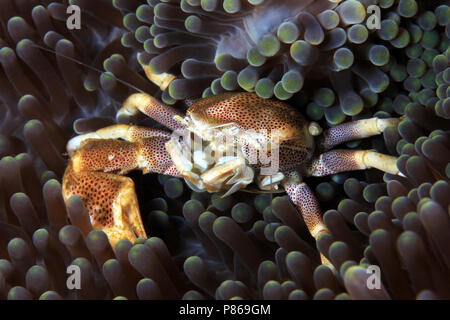 Spotted Porcelain Crab (Neopetrolisthes maculatus) in an Anemone. Anilao, Philippines - Stock Image