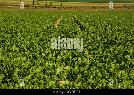 mangelwurzel field with green leaves and tire marks or tire tracks, young mangold wurzel field - Stock Image