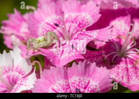 Crab spider (Misumena vatia) head-on sitting in wait for prey on maiden pink flowers. Taken in England. - Stock Image