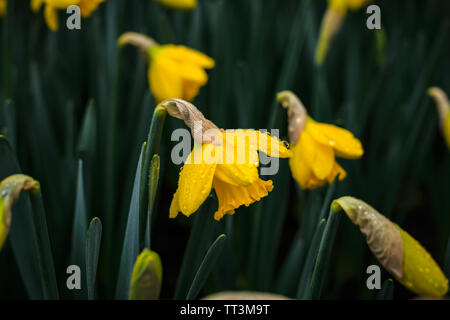 Tulip Park Keukenhof, Lisse, Netherlands - Stock Image