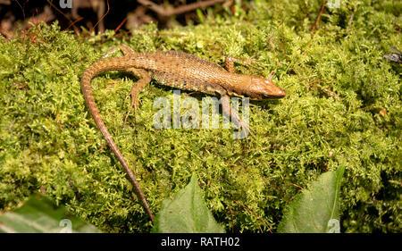 Jackson's Forest Lizard, Adolfus jacksoni, in Bwindi Impenetrable Forest, Uganda, Africa - Stock Image