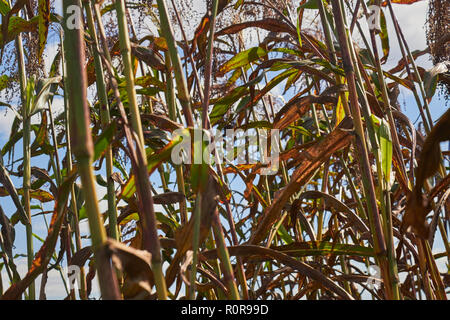 Broomcorn, also known as sorghum, growing in LancasterCounty, Pennsylvania, USA - Stock Image