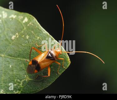 Plant Bug (Megacoelum infusum) at rest on oak leaf. Tipperary, Ireland - Stock Image