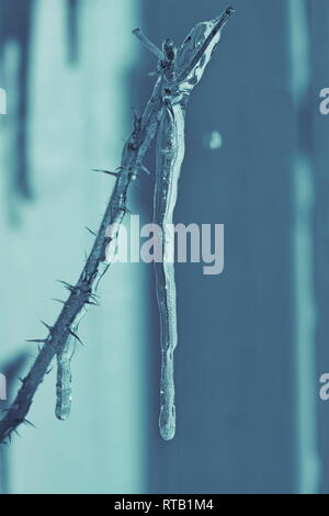 A long icicle is hanging from the thorny twig of a rose bush. - Stock Image