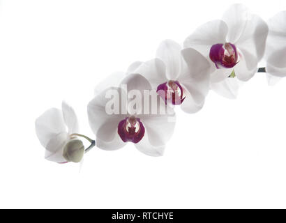 White Phalaenopsis Orchid (Moth Orchid) with pink centre against a white background - Stock Image