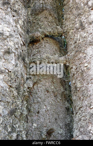 Three leaning against the trunk of a pine. - Stock Image